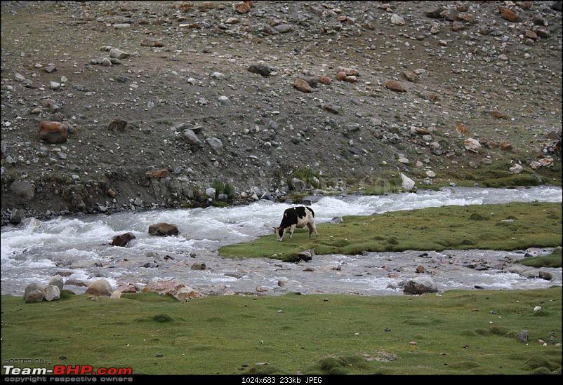 The Yayawar Group wanders in Ladakh & Spiti-29.-cow.jpg