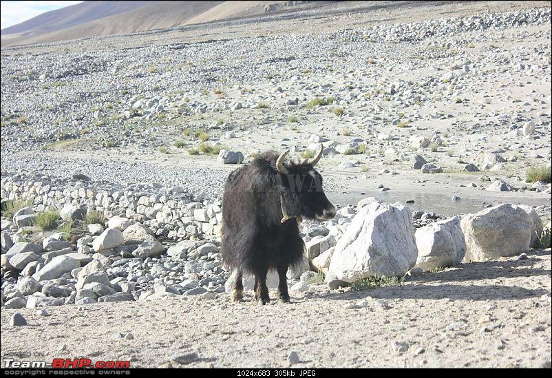 The Yayawar Group wanders in Ladakh & Spiti-42.-yak.jpg