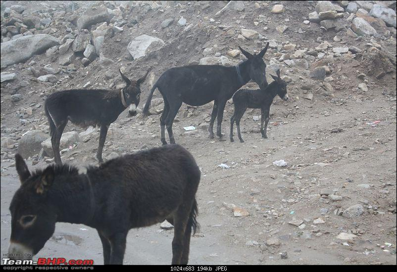 The Yayawar Group wanders in Ladakh & Spiti-43.-donkeys.jpg