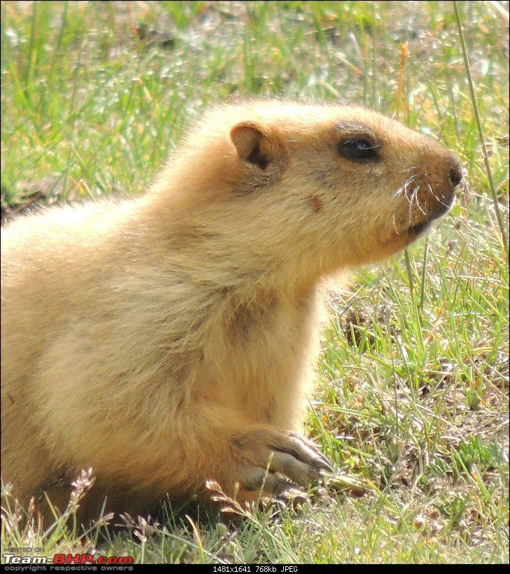 A Biker's Anthem: Ladakh-marmot-claws.jpg