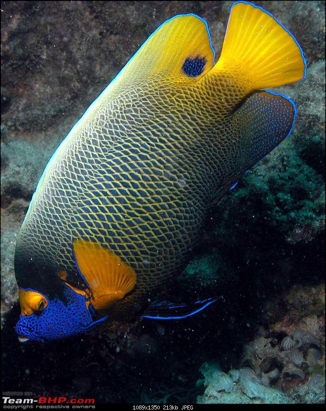 Scuba Diving in the Great Barrier Reefs-yellowmask-angelfish.jpg