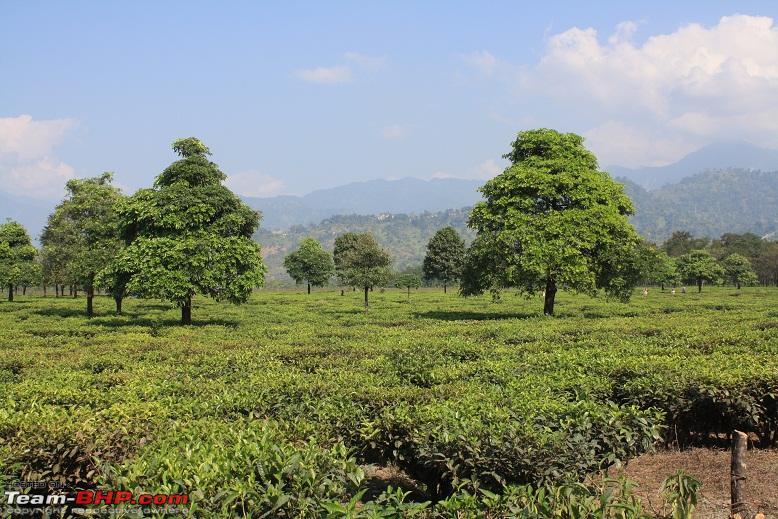 Name:  Tea Gardens  Bhutan Hills.jpg Views: 15677 Size:  232.8 KB