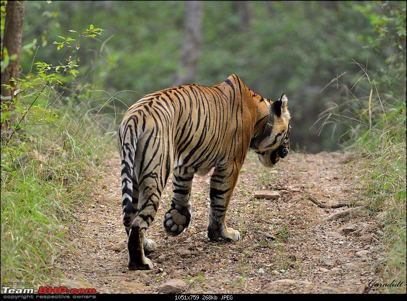 Gurgaon - Sariska - Gurgaon - Phew...Finally sighted one of the Tiger Cubs of ST2-2204.jpg