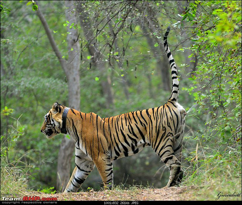 Gurgaon - Sariska - Gurgaon - Phew...Finally sighted one of the Tiger Cubs of ST2-2232.jpg