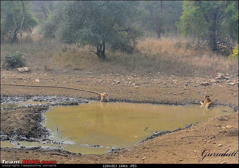 Gurgaon - Sariska - Gurgaon - Phew...Finally sighted one of the Tiger Cubs of ST2-2488.jpg