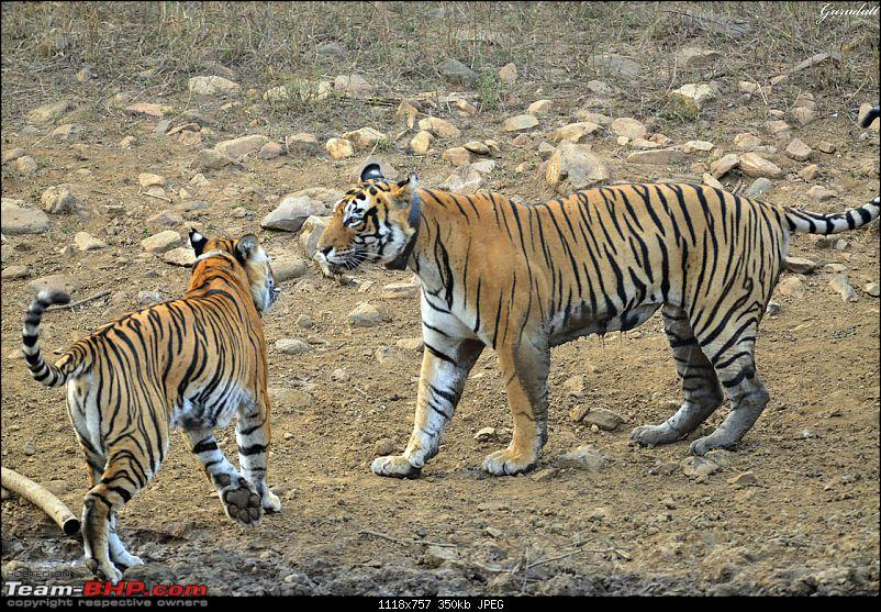 Gurgaon - Sariska - Gurgaon - Phew...Finally sighted one of the Tiger Cubs of ST2-2548.jpg