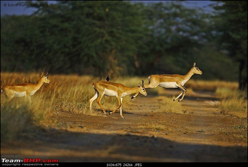 Drive to the Indian Savannah: Blackbuck National Park @ Velavadar, Gujarat-_t4a8861-copy.jpg