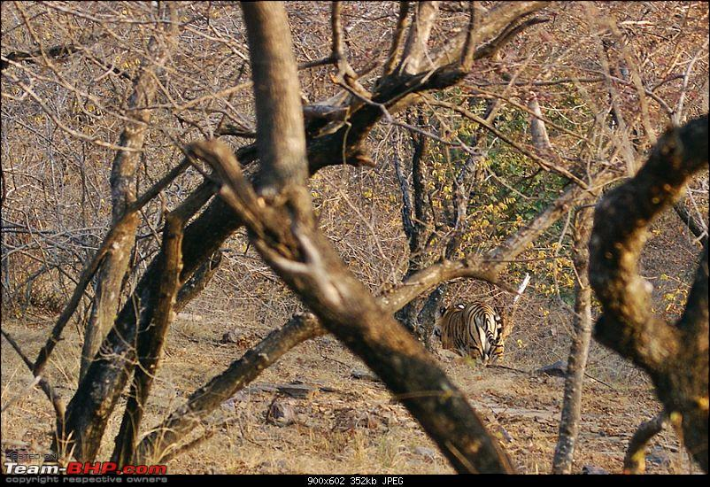 Ranthambhore : Water Hole Animal Census, tigers, forts and more....-dsc03408.jpg