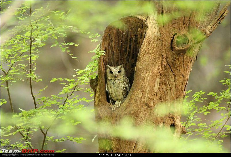 Ranthambore National Park Chronicle : Grand Sighting at last...-collared-scops-owl.jpg