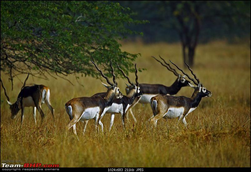 Drive to the Indian Savannah: Blackbuck National Park @ Velavadar, Gujarat-_t4a9559-copy.jpg