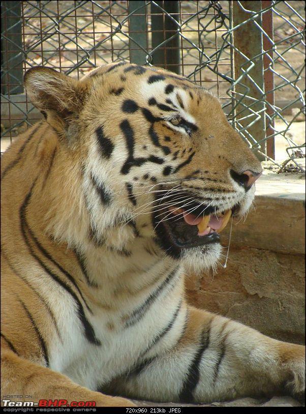 Bannerghatta: Jeep Safari & National Park-tiger10_720x960.jpg