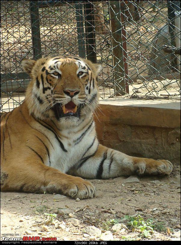 Bannerghatta: Jeep Safari & National Park-tiger11_720x960.jpg