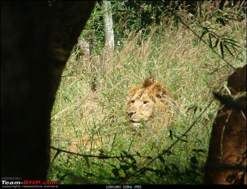 Bannerghatta: Jeep Safari & National Park-lion1_1280x960.jpg