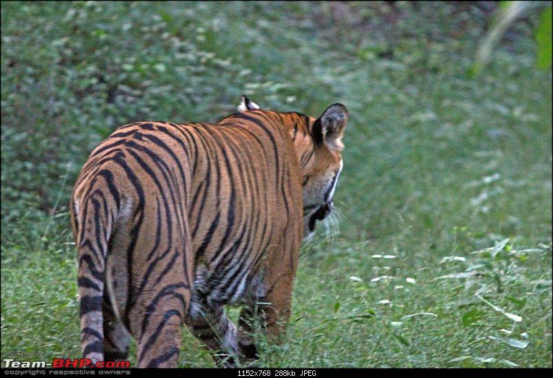 Ranthambore National Park Chronicle : Grand Sighting at last...-t39b.jpg