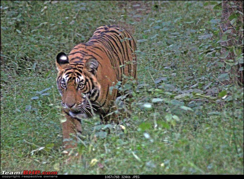 Ranthambore National Park Chronicle : Grand Sighting at last...-t39c.jpg