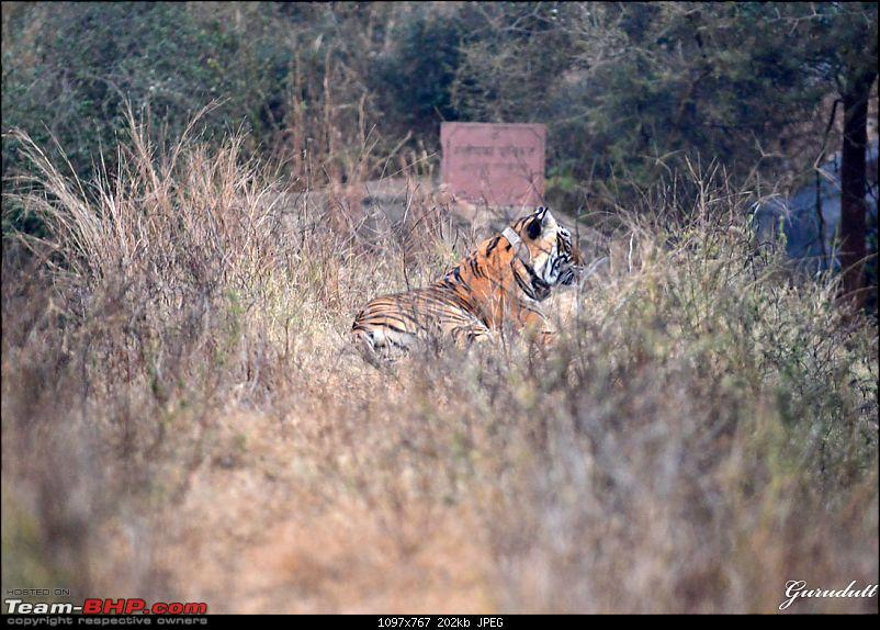 Gurgaon - Sariska - Gurgaon - Phew...Finally sighted one of the Tiger Cubs of ST2-3030.jpg