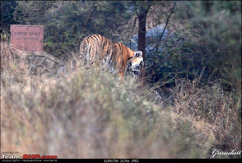 Gurgaon - Sariska - Gurgaon - Phew...Finally sighted one of the Tiger Cubs of ST2-3042.jpg