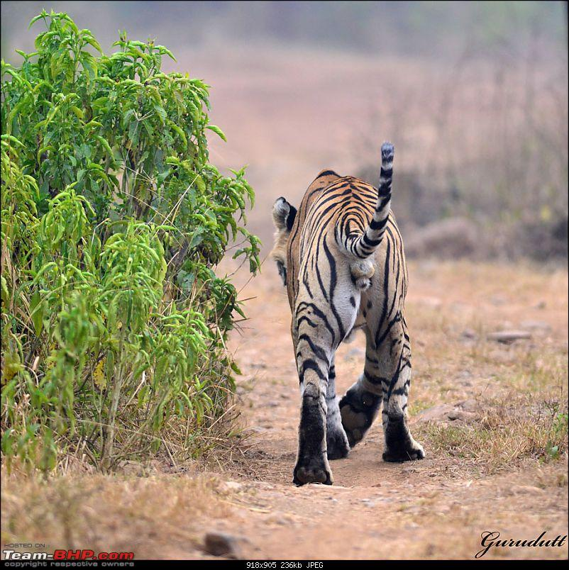 Gurgaon - Sariska - Gurgaon - Phew...Finally sighted one of the Tiger Cubs of ST2-3094.jpg