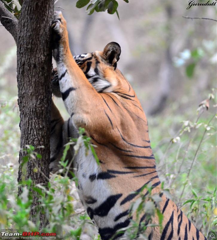 Gurgaon - Ranthambhore - Jodhpur - Gurgaon: Big Cats call again..!-2626.jpg