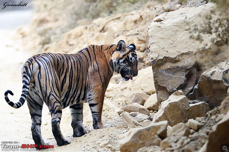 Gurgaon - Ranthambhore - Jodhpur - Gurgaon: Big Cats call again..!-2713.jpg