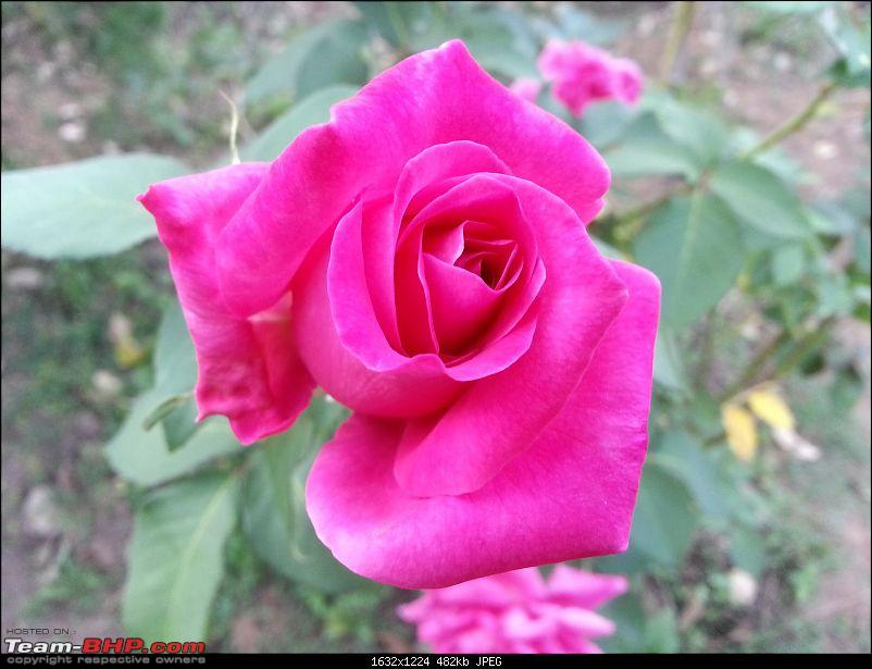 Bangalore to Madikeri, Coorg - A quick photologue-pink-rose.jpg