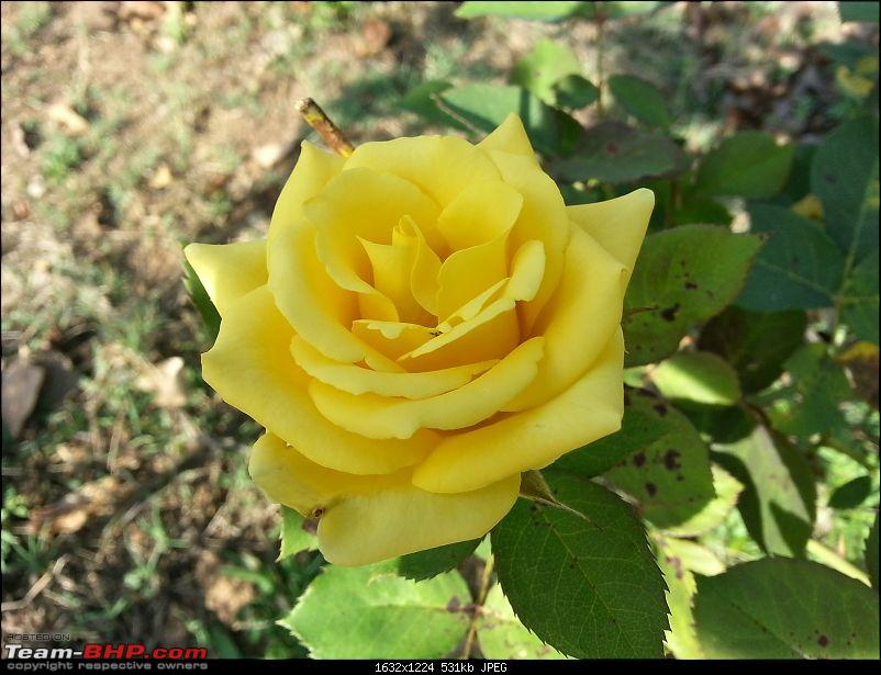 Bangalore to Madikeri, Coorg - A quick photologue-yellow-rose.jpg