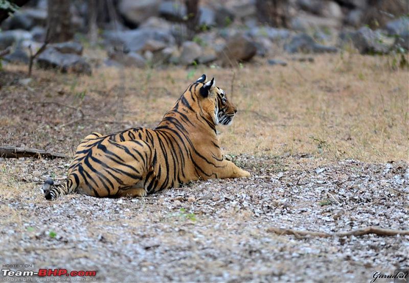 Gurgaon - Ranthambhore - Jodhpur - Gurgaon: Big Cats call again..!-2756.jpg