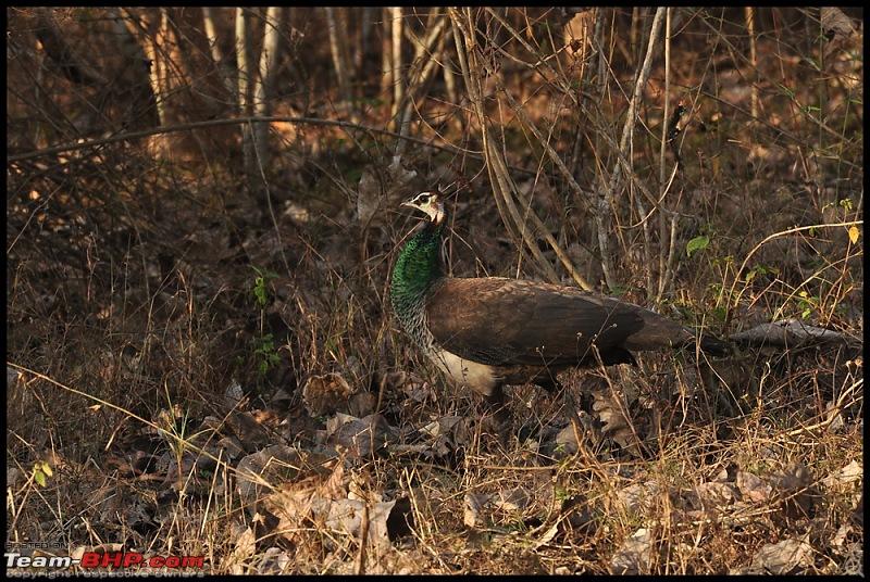 Bangalore - Thirunelli - Bandipur Trip : Forests & Fire-dsc_0885.jpg