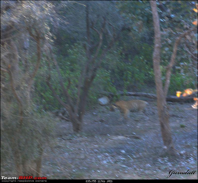 Gurgaon - Sariska - Gurgaon - Phew...Finally sighted one of the Tiger Cubs of ST2-3376.jpg