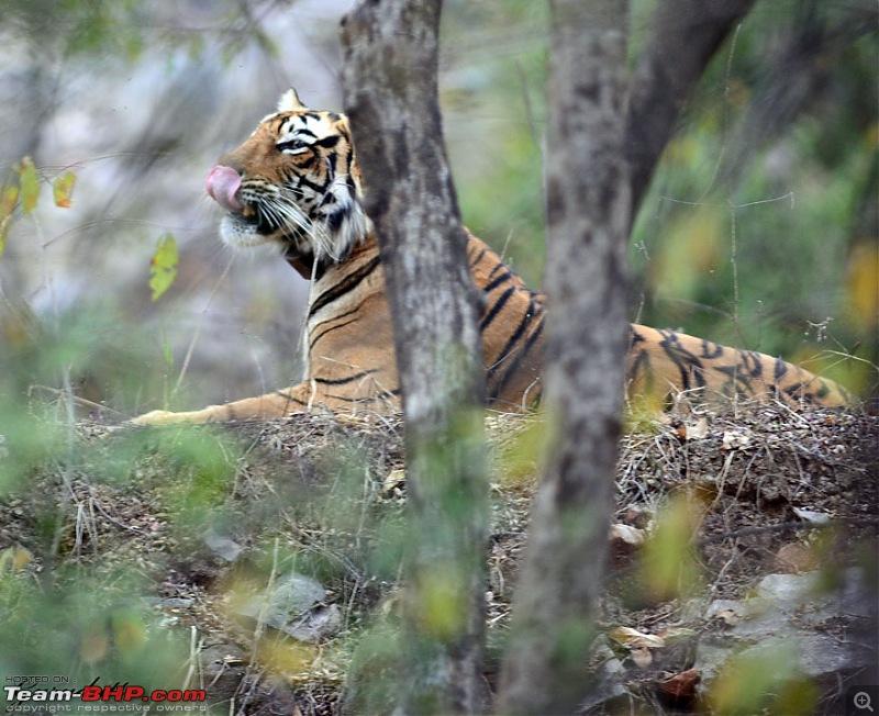 Gurgaon - Sariska - Gurgaon - Phew...Finally sighted one of the Tiger Cubs of ST2-65.jpg
