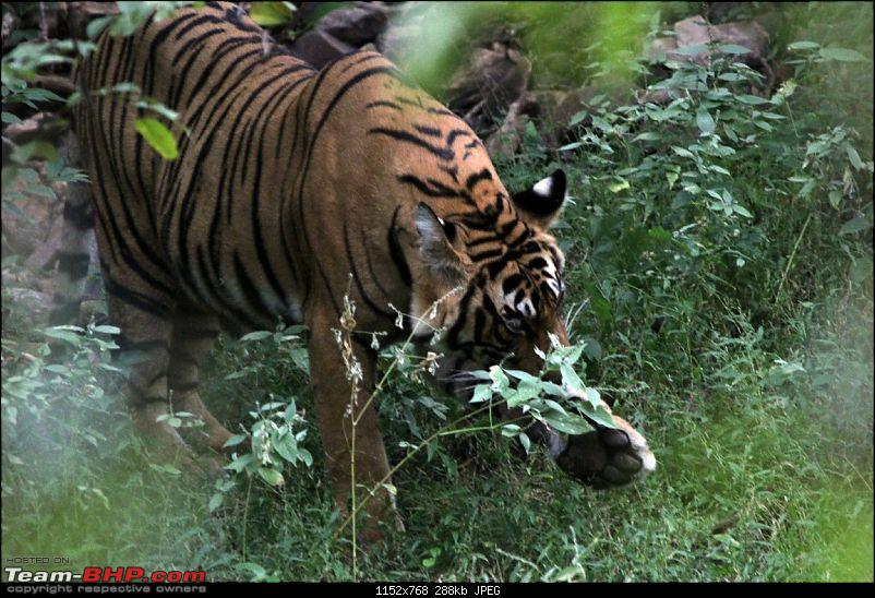 Ranthambore National Park Chronicle : Grand Sighting at last...-img_7087.jpg