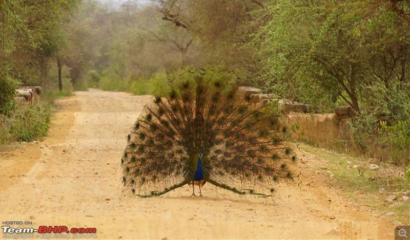 Hawk-On-Fours® (H-4®) Roadtrip: Of Forests (Sariska) & History (Siliserh, Deeg, Agra)-sariska-morning-27.jpg