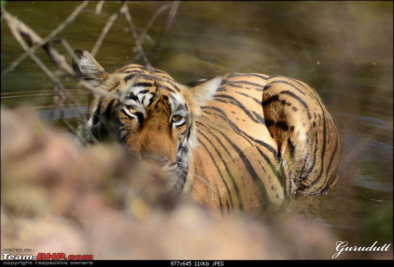 Gurgaon - Ranthambhore - Jodhpur - Gurgaon: Big Cats call again..!-0169.jpg