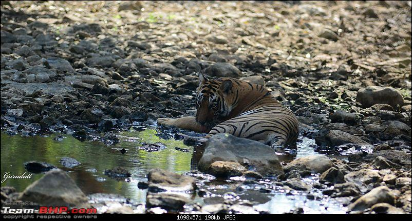 Gurgaon - Ranthambhore - Jodhpur - Gurgaon: Big Cats call again..!-0319.jpg