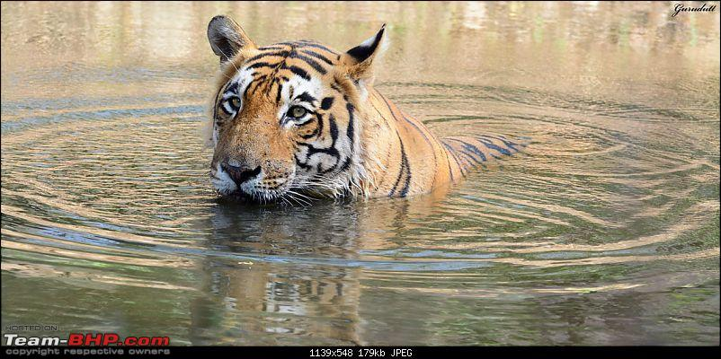 Gurgaon - Ranthambhore - Jodhpur - Gurgaon: Big Cats call again..!-0357.jpg