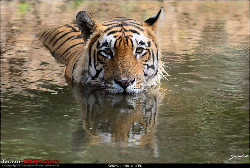 Gurgaon - Ranthambhore - Jodhpur - Gurgaon: Big Cats call again..!-0337.jpg