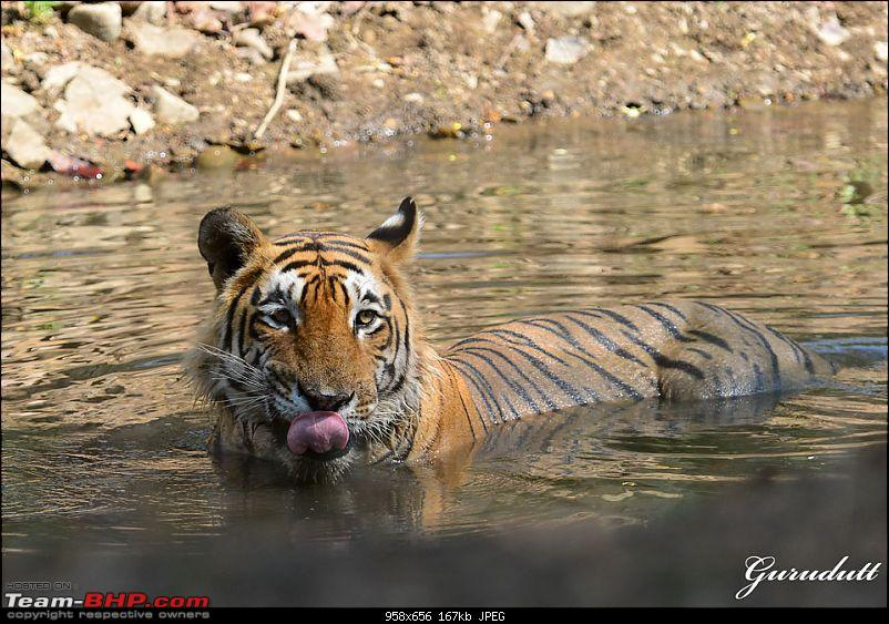 Gurgaon - Ranthambhore - Jodhpur - Gurgaon: Big Cats call again..!-3869.jpg