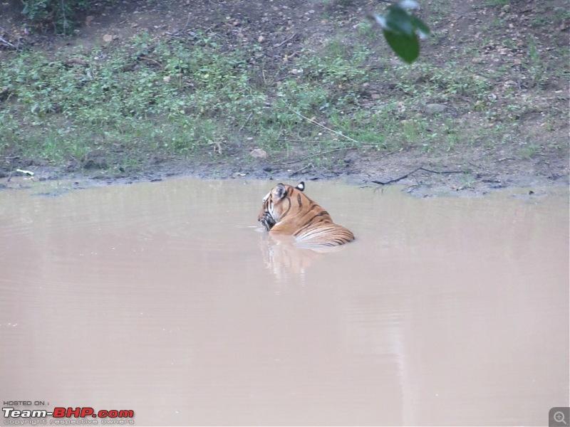 Call of the Jungle – Kabini-tiger-1.jpg
