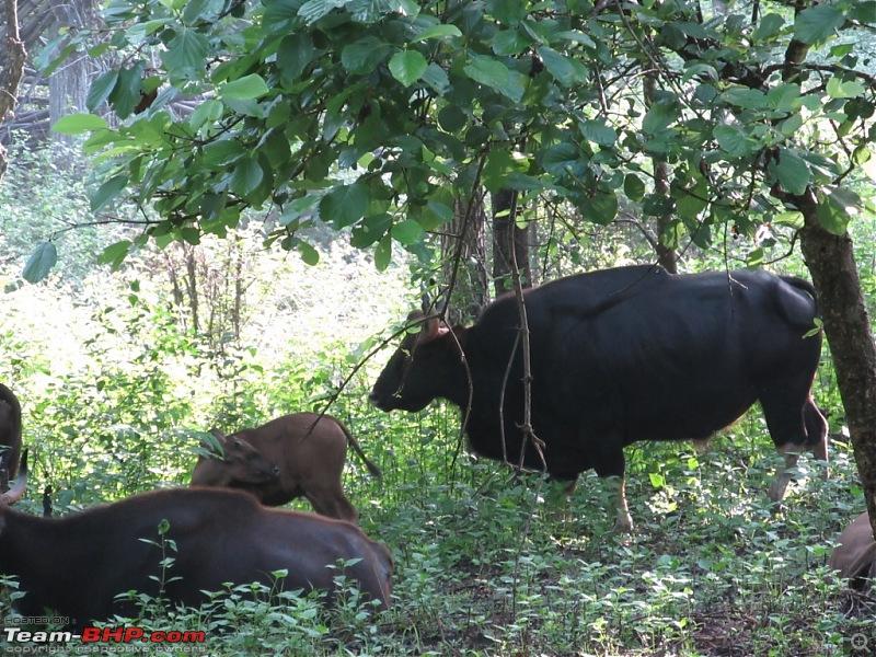 Call of the Jungle � Kabini-gaur-1.jpg
