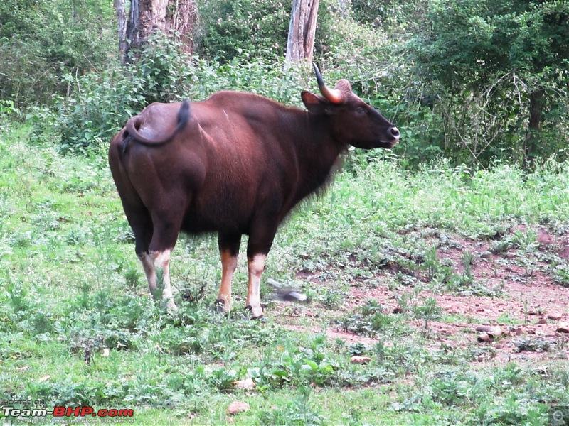 Call of the Jungle � Kabini-gaur.jpg