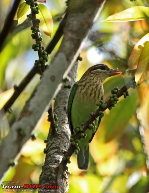 Name:  white cheeked barbet.JPG