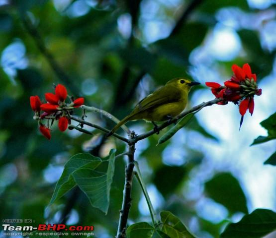 Name:  yellow browed bulbul 2.JPG