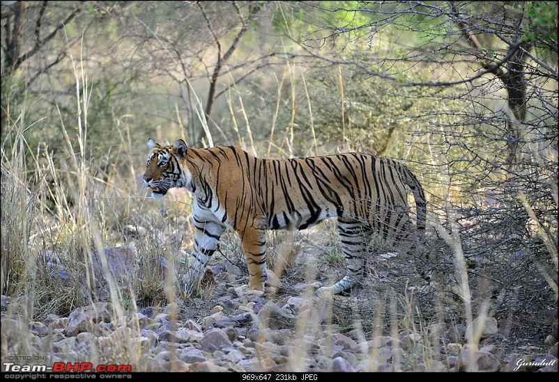 Gurgaon - Ranthambhore - Jodhpur - Gurgaon: Big Cats call again..!-3944.jpg