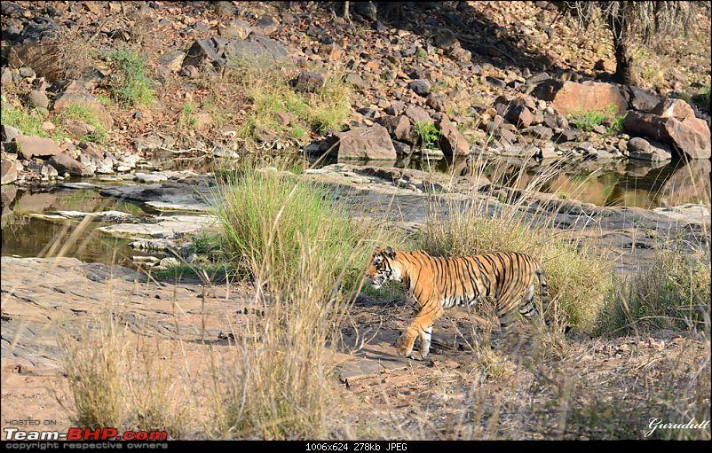 Gurgaon - Ranthambhore - Jodhpur - Gurgaon: Big Cats call again..!-3962.jpg