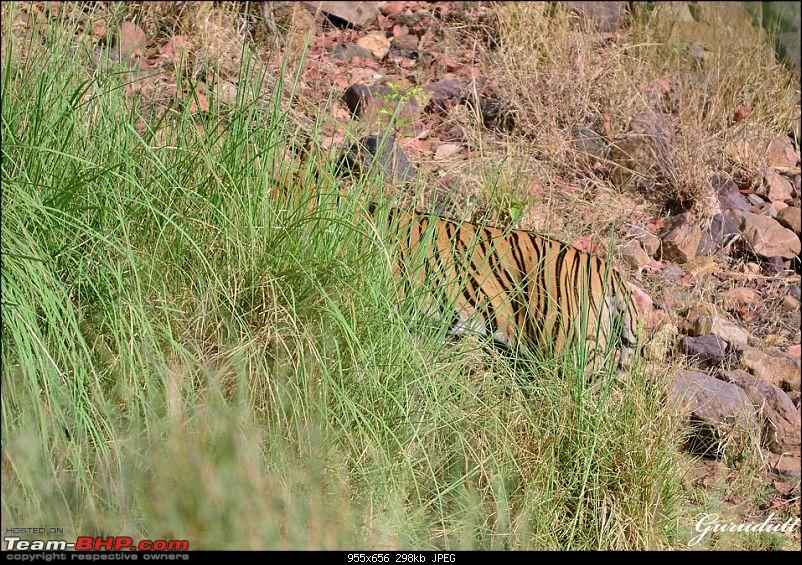 Gurgaon - Ranthambhore - Jodhpur - Gurgaon: Big Cats call again..!-3986.jpg