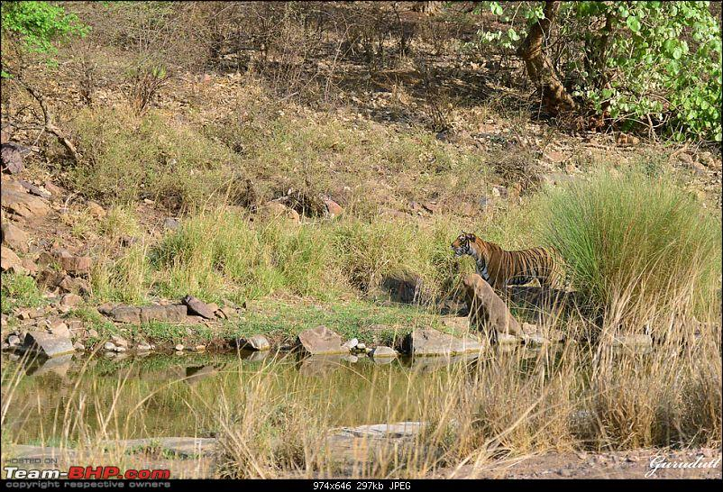 Gurgaon - Ranthambhore - Jodhpur - Gurgaon: Big Cats call again..!-4006.jpg