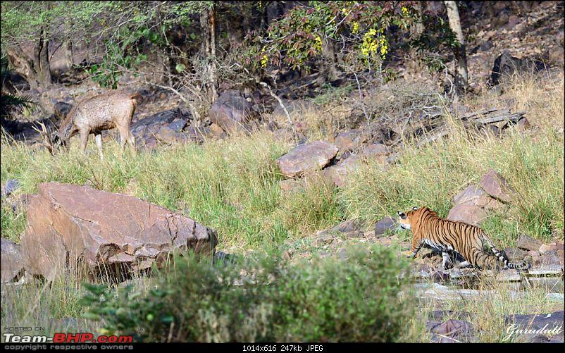 Gurgaon - Ranthambhore - Jodhpur - Gurgaon: Big Cats call again..!-4035.jpg