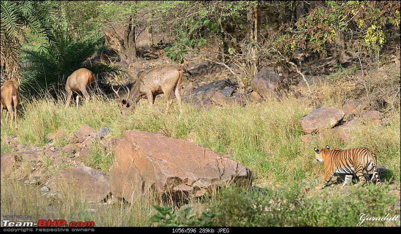 Gurgaon - Ranthambhore - Jodhpur - Gurgaon: Big Cats call again..!-4036.jpg