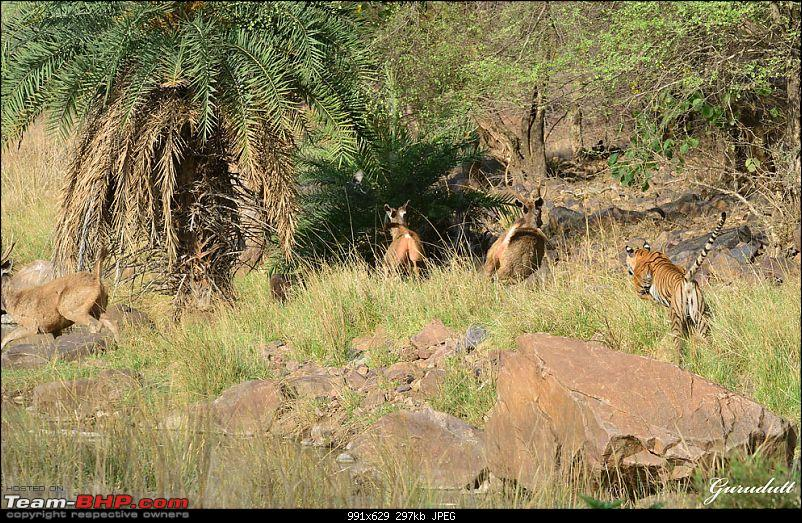 Gurgaon - Ranthambhore - Jodhpur - Gurgaon: Big Cats call again..!-4041.jpg