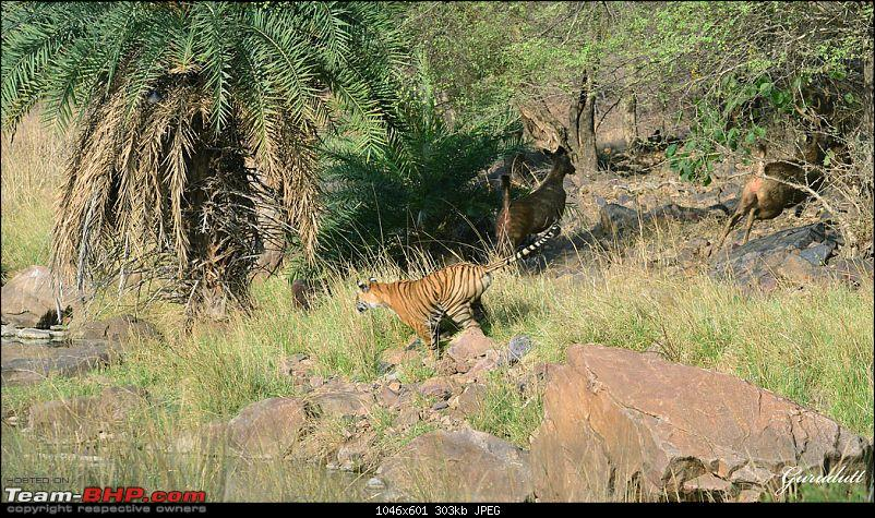 Gurgaon - Ranthambhore - Jodhpur - Gurgaon: Big Cats call again..!-4044.jpg